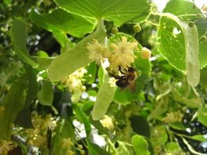 Linden with Bumblebee